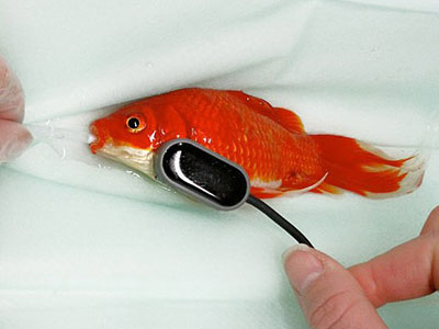 Sẵn sàng chi 10 triệu đồng chữa táo bón cho cá vàng cưng