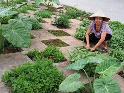 Người Hà Nội thuê đất trồng rau sạch