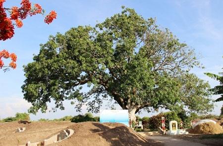 Xoài hơn 300 tuổi ở miền Tây được công nhận cây di sản