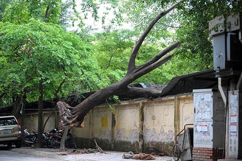 Hà Nội: Giông lốc, cây đổ vào trường học - 2