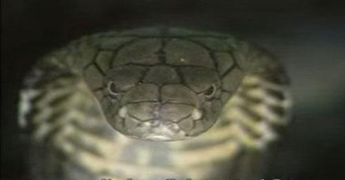 """Loài rắn """"bò nhanh như mây gặp gió"""", dài tới 4,5 mét ở Việt Nam - 3"""