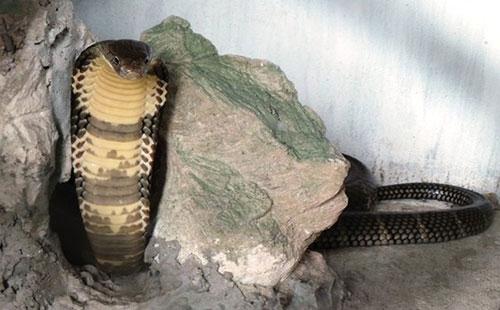 """Loài rắn """"bò nhanh như mây gặp gió"""", dài tới 4,5 mét ở Việt Nam - 4"""