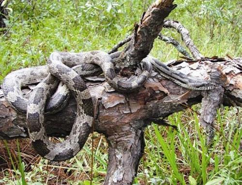 """Loài rắn """"bò nhanh như mây gặp gió"""", dài tới 4,5 mét ở Việt Nam - 6"""