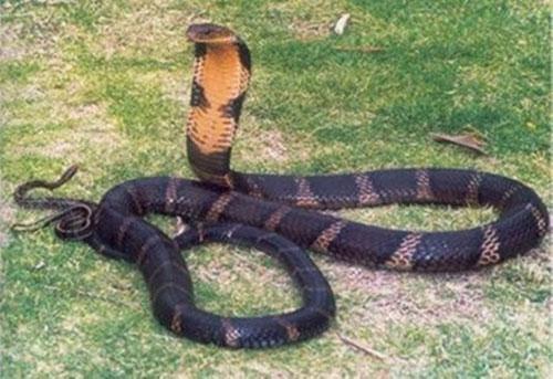 """Loài rắn """"bò nhanh như mây gặp gió"""", dài tới 4,5 mét ở Việt Nam - 7"""