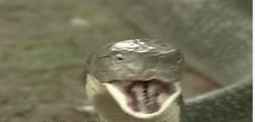 """Loài rắn """"bò nhanh như mây gặp gió"""", dài tới 4,5 mét ở Việt Nam - 8"""