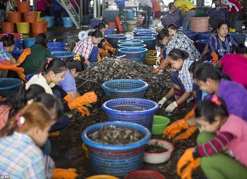 Kinh hoàng công việc bóc vỏ tôm trong những nhà xưởng bẩn thỉu tại Thái Lan