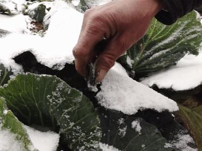Clip: Nông dân bất lực nhìn rau củ đông cứng