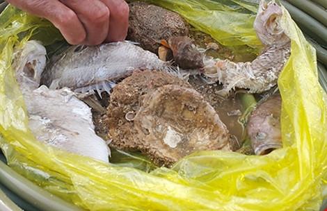 Nhím biển, vẹm biển chết trắng dưới đáy biển và cá biển bị phân hủy dày đặc. Ảnh: MINH QUÊ
