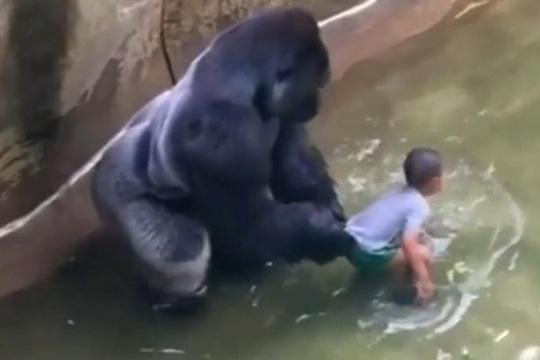 Con khỉ đột không có ý định tấn công bé trai. Ảnh: MIRROR