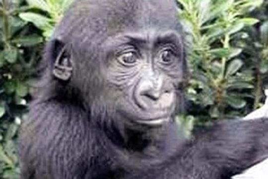 Harambe là một chú khỉ đột hiền lành ngay từ hồi nhỏ. Ảnh: FACEBOOK