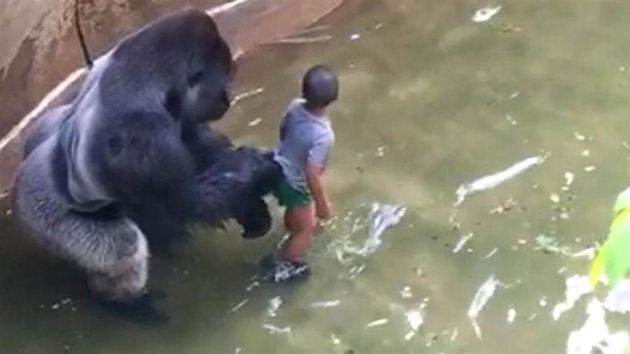 Cậu bé 3 tuổi rơi vào chuồng khỉ đột tại sở thú Cincinnati hôm 28/5 (Ảnh: NBC)