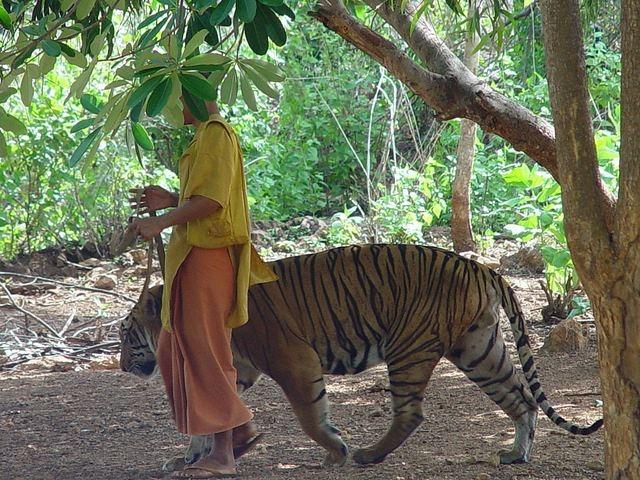 Ảnh: Sư Thái Lan ăn ngủ cùng 137 con hổ dữ - 1
