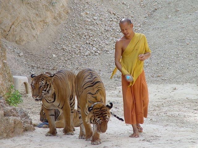 Ảnh: Sư Thái Lan ăn ngủ cùng 137 con hổ dữ - 2