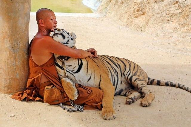 Ảnh: Sư Thái Lan ăn ngủ cùng 137 con hổ dữ - 4