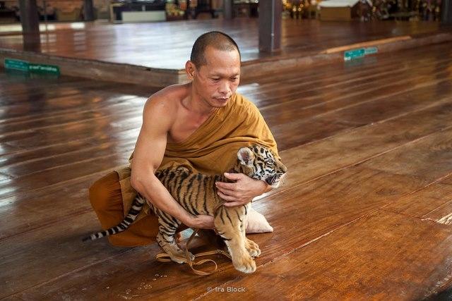 Ảnh: Sư Thái Lan ăn ngủ cùng 137 con hổ dữ - 8