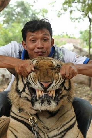 Ảnh: Sư Thái Lan ăn ngủ cùng 137 con hổ dữ - 9