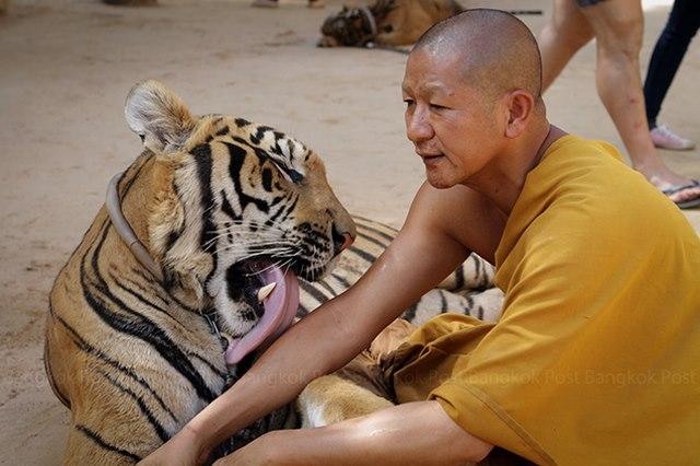 Ảnh: Sư Thái Lan ăn ngủ cùng 137 con hổ dữ - 10