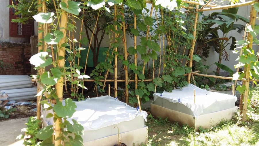 trồng rau sạch, rau sạch, người hà nội trồng rau sạch, mắc màn cho rau sạch, vườn rau sạch