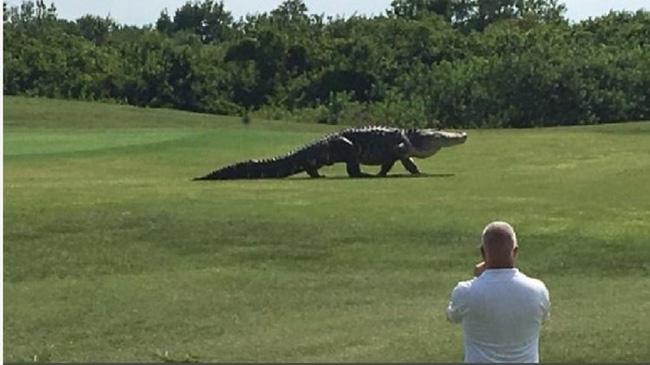 Kinh hãi cảnh cá sấu khổng lồ dài hơn 4,5m đi dạo trong sân golf - Ảnh 2.