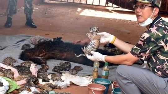 Phát hiện 40 xác hổ con trong chùa Thái Lan - Ảnh 1.