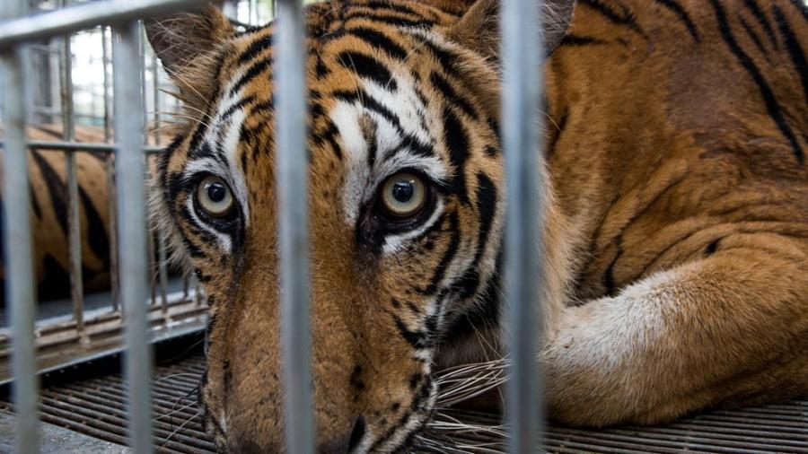 Một con hổ được cứu khỏi chùa Wat Pha Luang Ta Bua ngày 4/6. Ảnh: New York Times