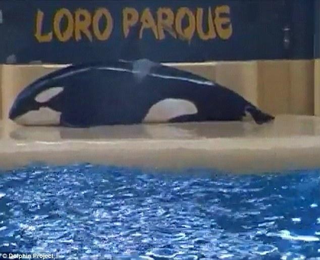 Chú cá voi tự tử do không chịu nổi cuộc sống cầm tù mua vui con người - Ảnh 1.