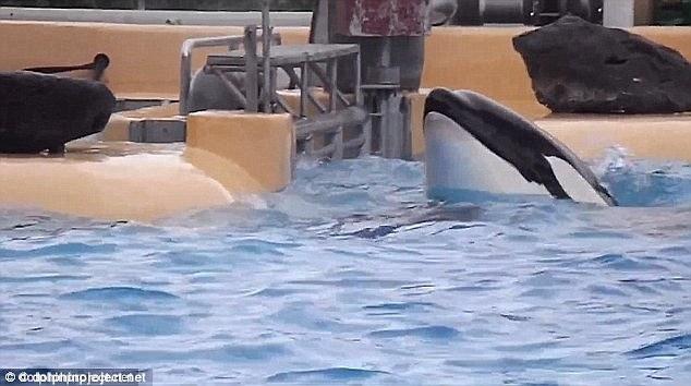 Chú cá voi tự tử do không chịu nổi cuộc sống cầm tù mua vui con người - Ảnh 3.