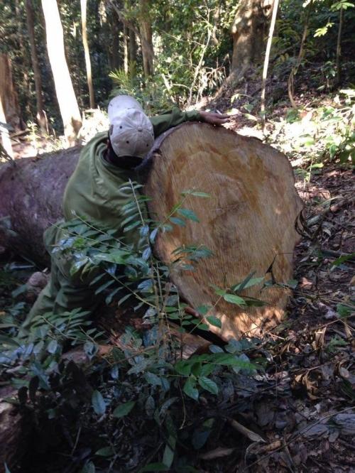 Sốc, lâm tặc 'xẻ thịt' cây rừng trăm năm, huyện nói toàn 'gỗ mục' - Ảnh 1