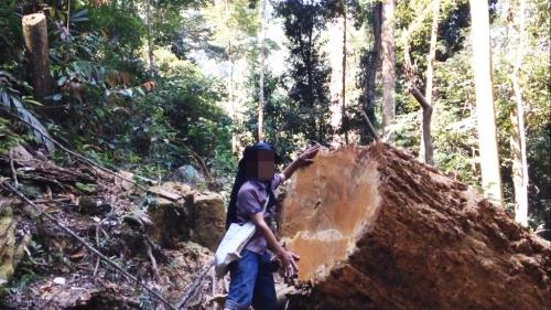 Sốc, lâm tặc 'xẻ thịt' cây rừng trăm năm, huyện nói toàn 'gỗ mục' - Ảnh 5