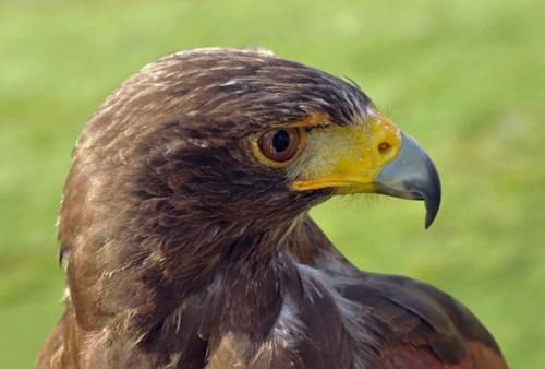 Trường học thuê chim ưng để 'bảo vệ' thức ăn của học sinh - ảnh 1