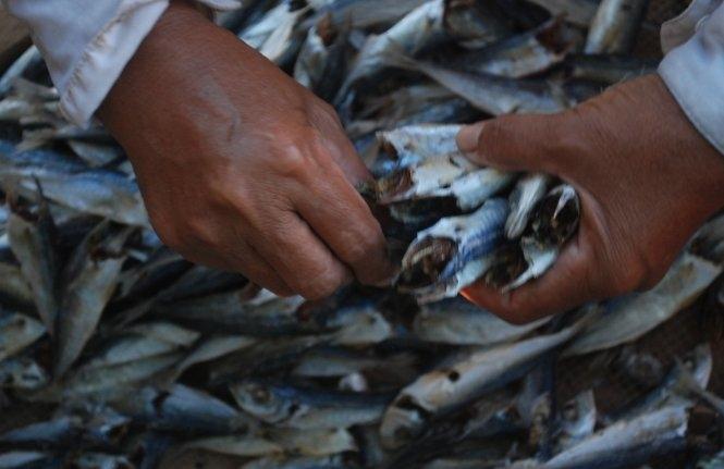 Phát hiện chất cực độc trong cá nục đông lạnh tại Quảng Trị