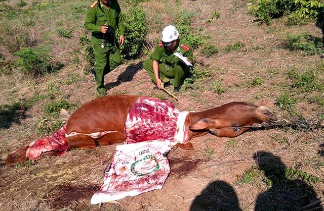Cơ quan chức năng đang điều tra nạn trộm bò cắt lấy đùi xảy ra ở xã Đức Bình Tây, huyện Sông Hinh.Ảnh:Thế Lập - TTXVN