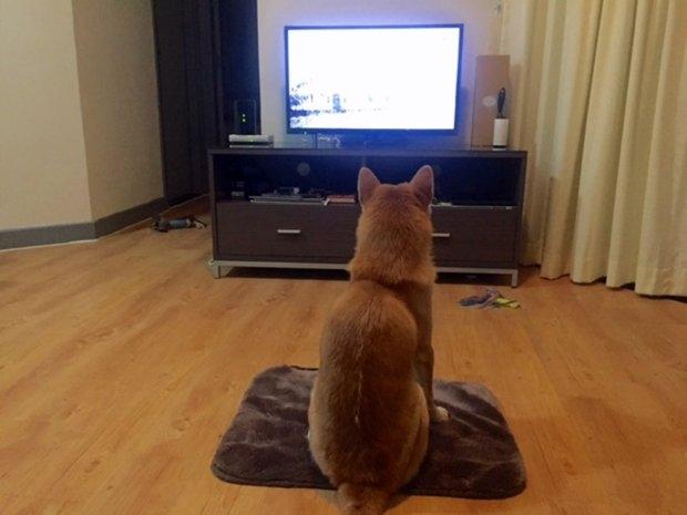Chú chó shiba ngồi trên ghế xem phim như người - Ảnh 3.
