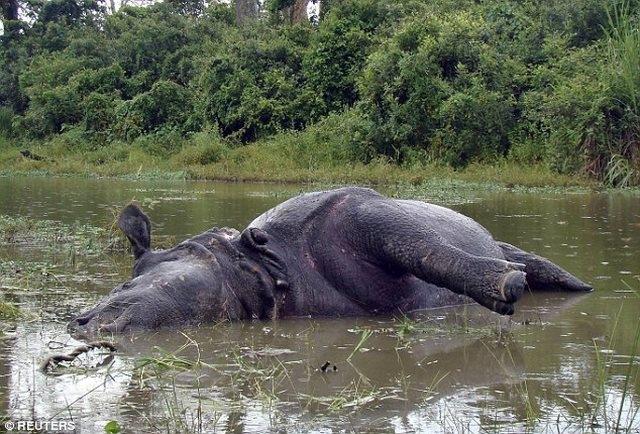"""Ấn Độ: Tê giác cái bị húc chết vì từ chối """"yêu"""" - 1"""