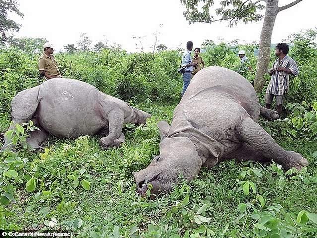 """Ấn Độ: Tê giác cái bị húc chết vì từ chối """"yêu"""" - 2"""