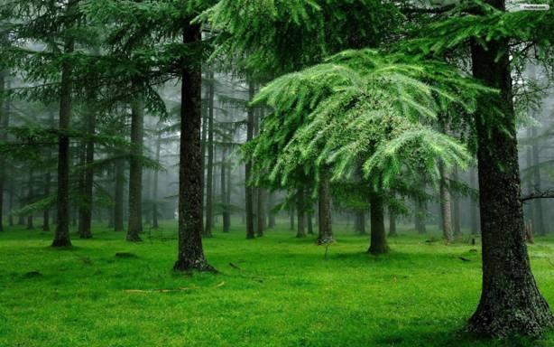Cây thông không những là một biểu tượng của sức khỏe và tuổi thọ mà còn là loài cây có khả năng hóa giải được tà khí xâm nhập vào nhà bạn - Ảnh minh họa.