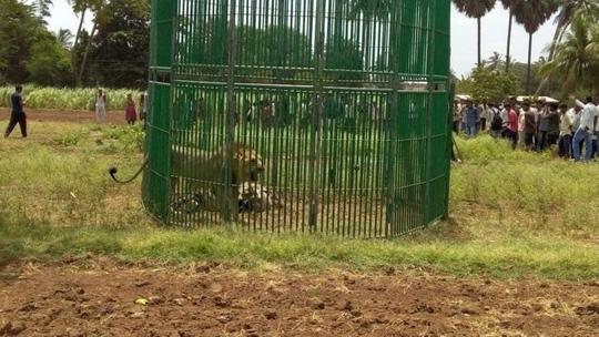Những con sư tử bị nhốt chờ điều tra. Ảnh: Prashant Dayal