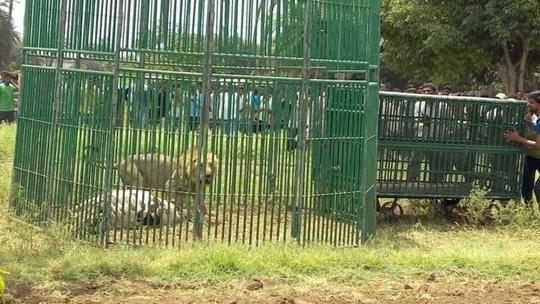 """Một số chuyên gia cho rằng chính sự bùng nổ số lượng sư tử ở khu bảo tồn Gir đã khiến chúng có """"hành vi bất thường. Ảnh:Prashant Dayal"""
