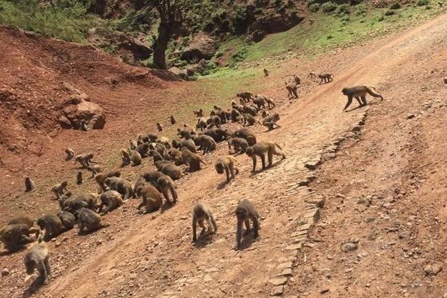 Đắng lòng người đàn ông dụ khỉ về làng làm xiếc, ngờ đâu bị chúng chiếm núi xưng Vương - Ảnh 6.