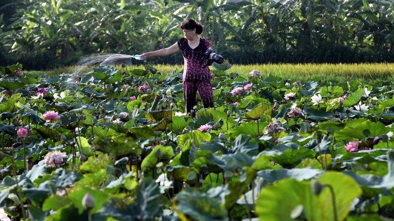 Hoa sen, đầm sen, chụp ảnh, nhiếp ảnh, Ninh Xá, Thường Tín, U60