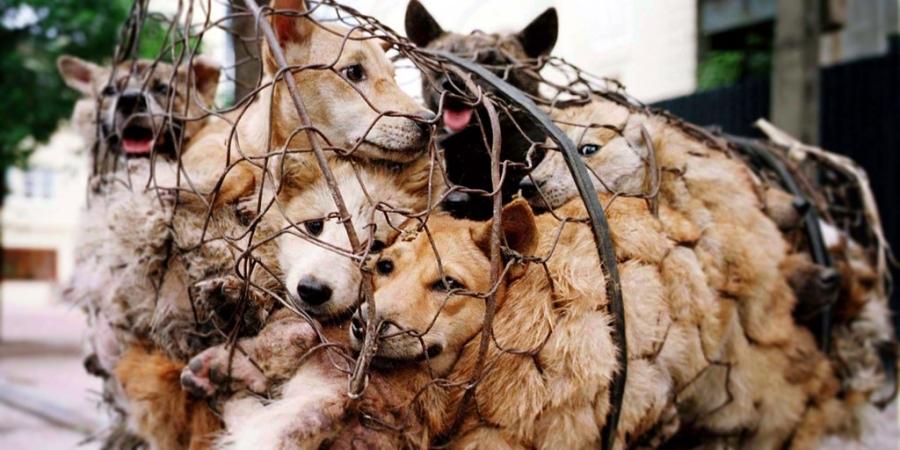 Hàng nghìn con chó bị giết trong lễ hội thịt chó ở Cát Lâm mỗi năm. Ảnh: animalsaustralia.org