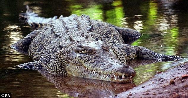 Kinh hoàng: Bắt sống cá sấu khổng lồ dài bằng ba người đàn ông - Ảnh 3.