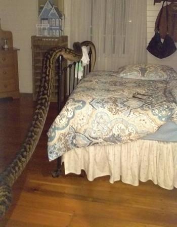 Con trăn cỡ lớn trườn vắt vẻo dưới chân giường