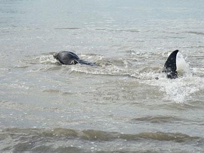 Cá heo hơn 100 kg bơi vào bãi biển Quy Nhơn