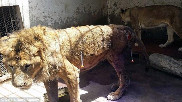 Cơ thể tàn tạ chỉ còn da bọc xương của chú sư tử cô đơn nhất hành tinh - Ảnh 2.