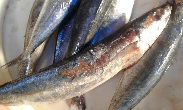 Những con cá nục được đề giá bán 40.000đồng/kg.