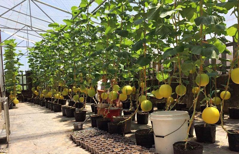 trồng dưa trên sân thượng, dưa lưới, dưa lưới Bảo Khuê, vườn dưa trên sân thượng, cách trồng dưa trên sân thượng