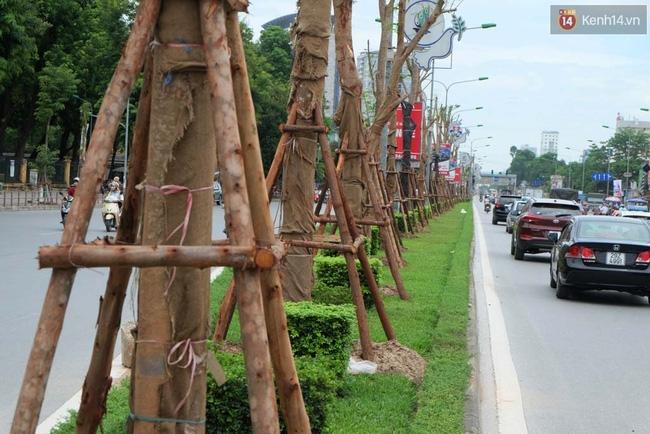Tranh cãi về việc trồng cây phượng đỏ ở dải phân cách trên nhiều tuyến phố Hà Nội - Ảnh 2.