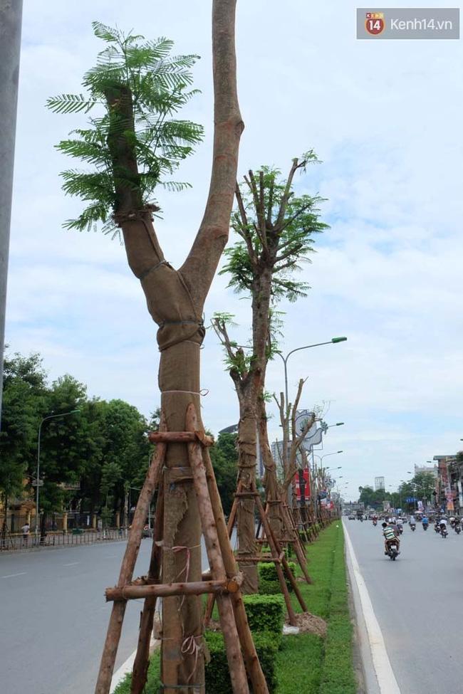 Tranh cãi về việc trồng cây phượng đỏ ở dải phân cách trên nhiều tuyến phố Hà Nội - Ảnh 3.