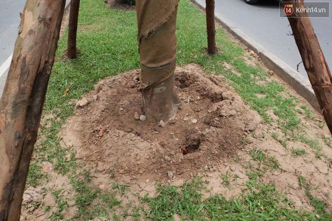 Tranh cãi về việc trồng cây phượng đỏ ở dải phân cách trên nhiều tuyến phố Hà Nội - Ảnh 4.